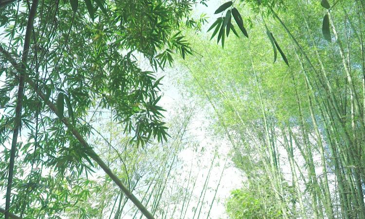Khu bảo tồn tre lớn nhất của Đông Nam Á